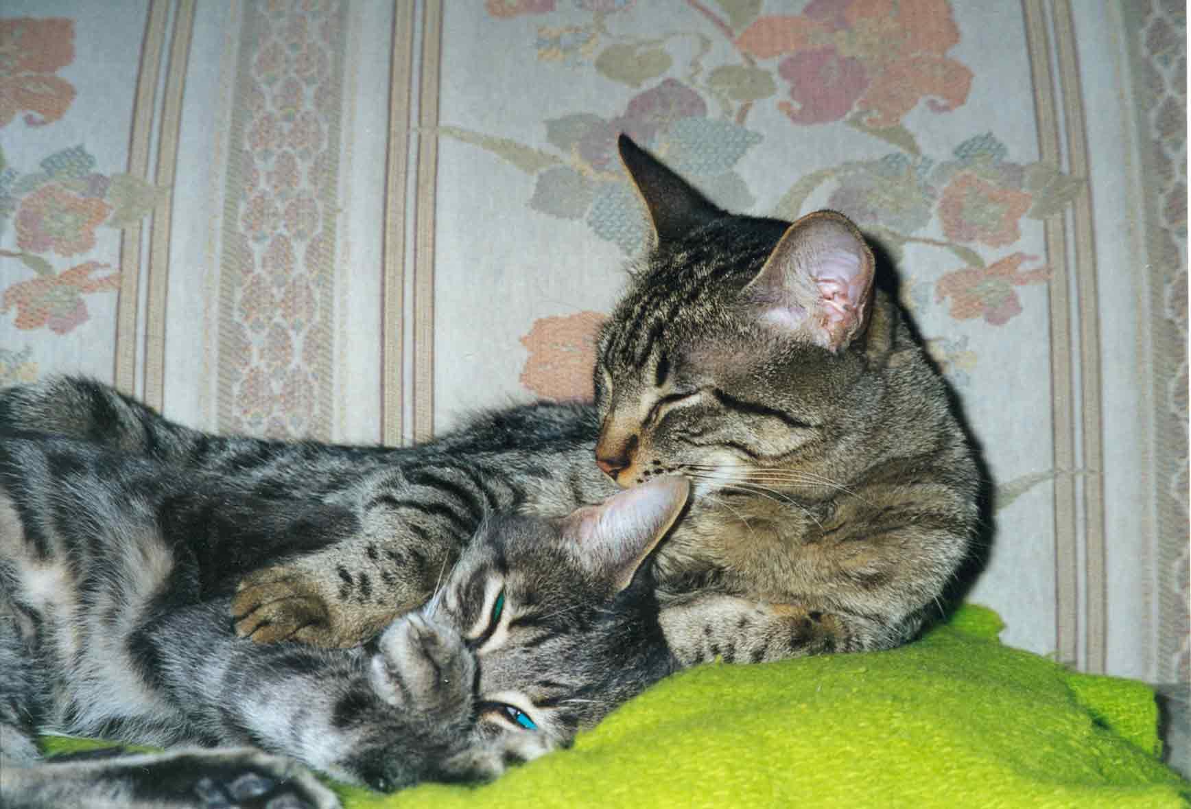 mean siamese cats